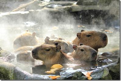 kapibara2013