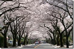 izukogen桜並木