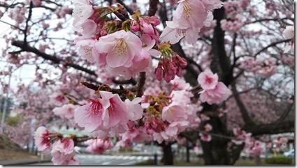 jougasakisakura桜