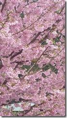 mejiro sakura