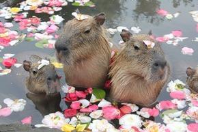 kapibaraかぴばら