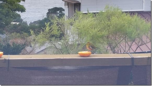 野鳥 伊豆高原 (1)