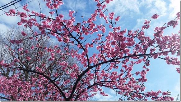 早咲き桜 伊豆高原 (4)
