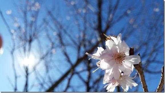 oosimasakura桜