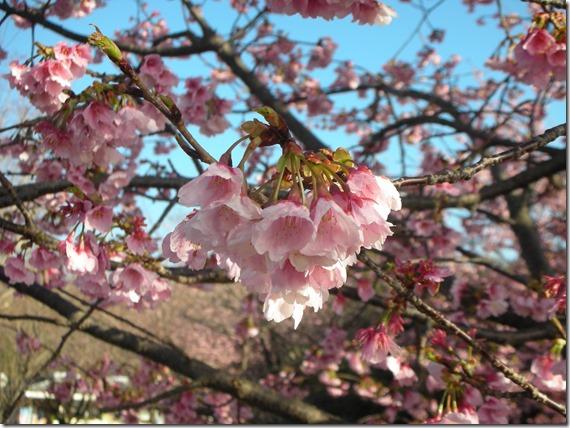 伊豆高原桜祭り 004