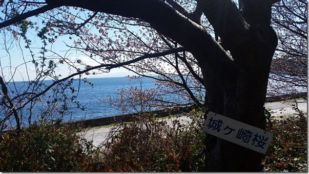 jougasakisakura城ケ崎桜2017 (5)