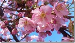 早咲き桜 (3)