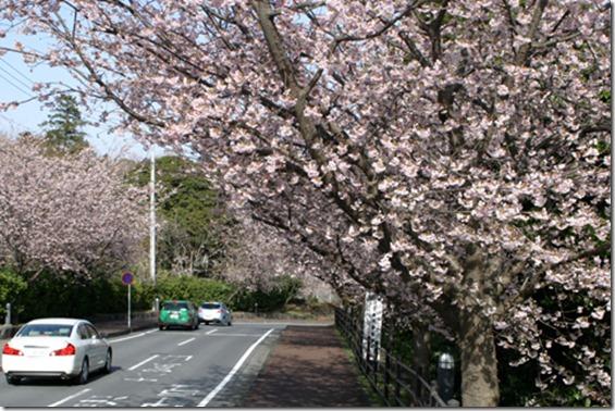 ookannzakura 2011