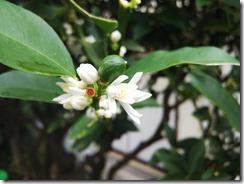 キンカンの花 (3)