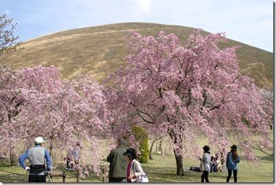 sakuranosato110415-1
