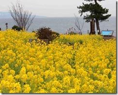 Microsoft Word - 20141212城ヶ崎桜と菜の花まつり