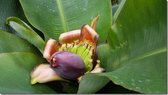 201609バナナ花