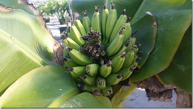 2016バナナ