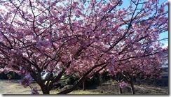 早咲き桜 (1)